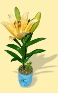 Flori conserva crin