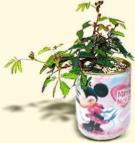Flori conserva mimoza