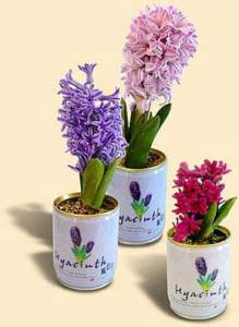 Flori conserva zambila