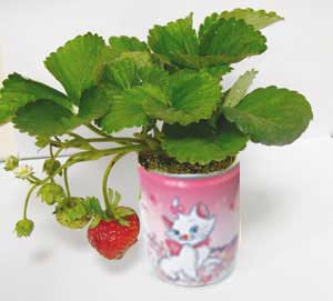 Plante conserva capsuna