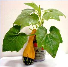 Plante conserva